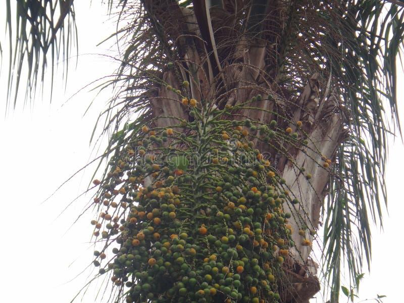 长尾小鹦鹉、鹦哥、爱鸟或者木条地板 Syagrus romanzoffiana成熟橙色和几乎未成熟的绿色核果  Butia好朋友 免版税库存图片