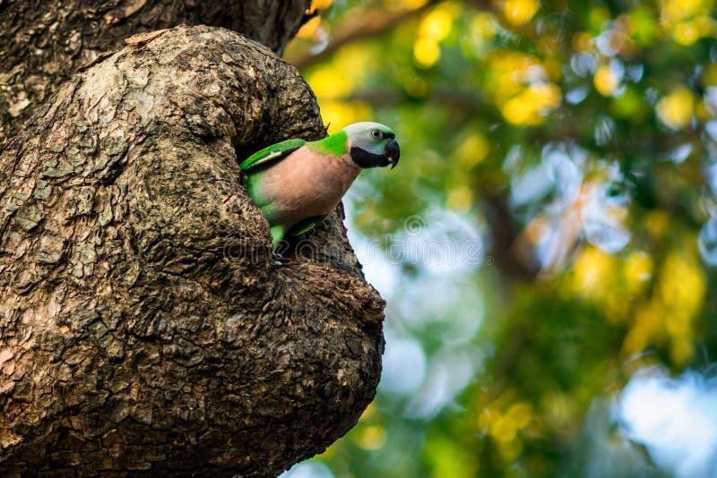长尾小鹦鹉。 图库摄影