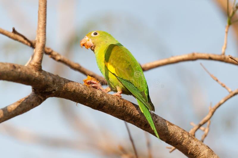 长尾小鹦鹉鸟用喷管糖蜜在吃以后 图库摄影