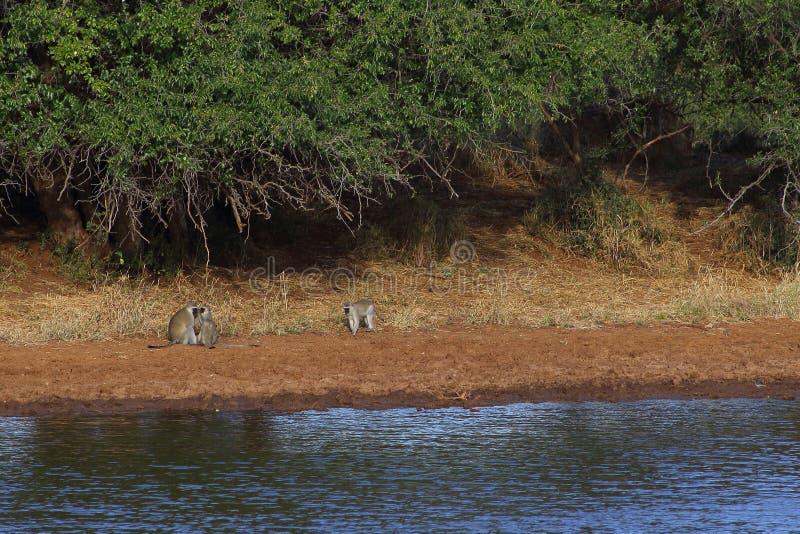 黑长尾小猴家庭 库存图片