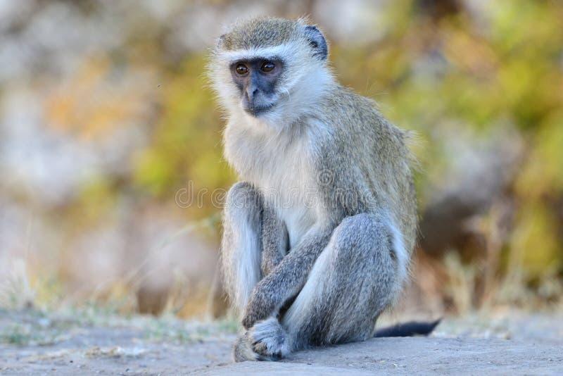 黑长尾小猴,非洲 免版税库存图片