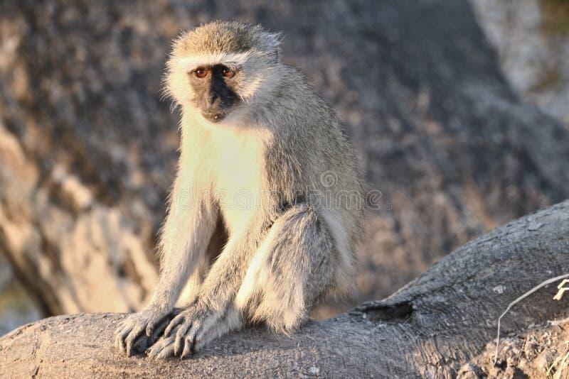 黑长尾小猴,非洲 库存图片
