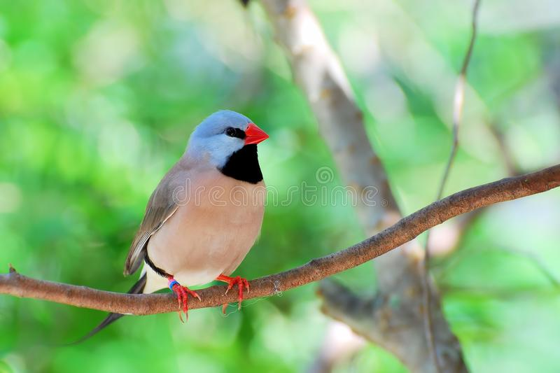 长尾成人鸟的雀科 免版税库存图片