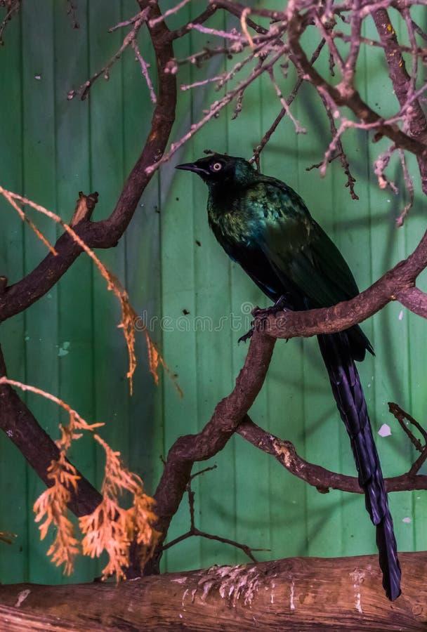 长尾的光滑的椋鸟坐树枝,从非洲的热带鸟,与光滑的羽毛的五颜六色的鸟 免版税库存照片