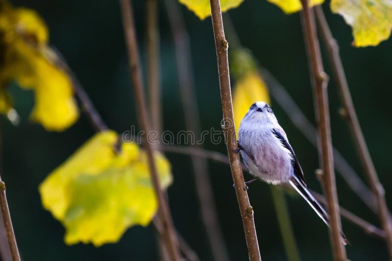 长尾的山雀/长尾的bushtit/Aegithalos caudatus 图库摄影