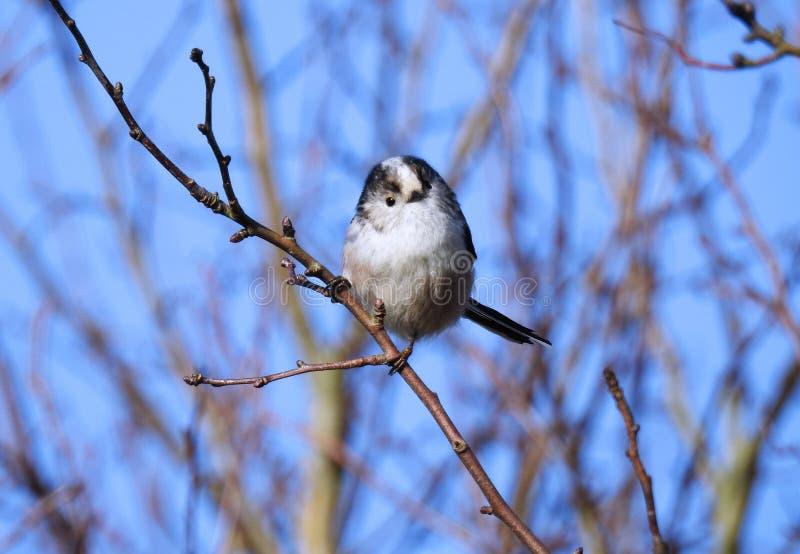 长尾的山雀/Aegithalos Caudatus在一个晴朗的冬日 免版税图库摄影