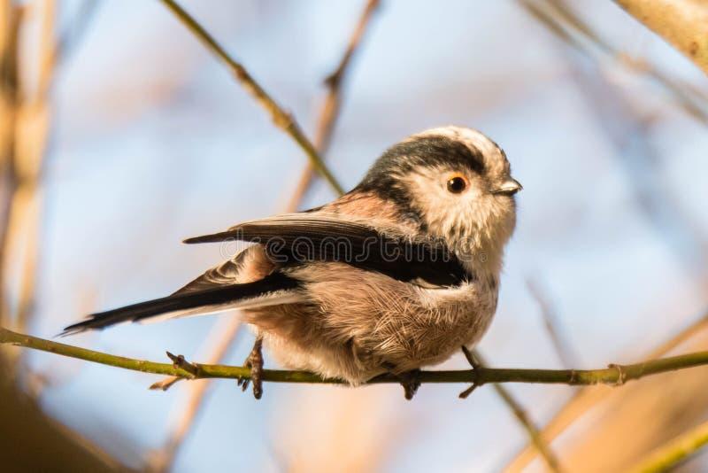 长尾的山雀& x28; Aegithalos caudatus& x29;在枝杈上 免版税图库摄影