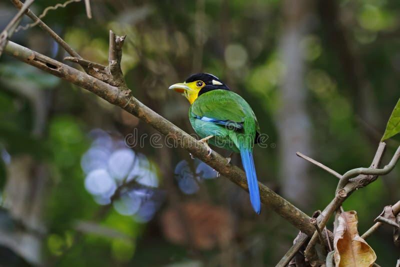 长尾的泰国的Broadbill Psarisomus dalhousiae逗人喜爱的鸟 库存图片