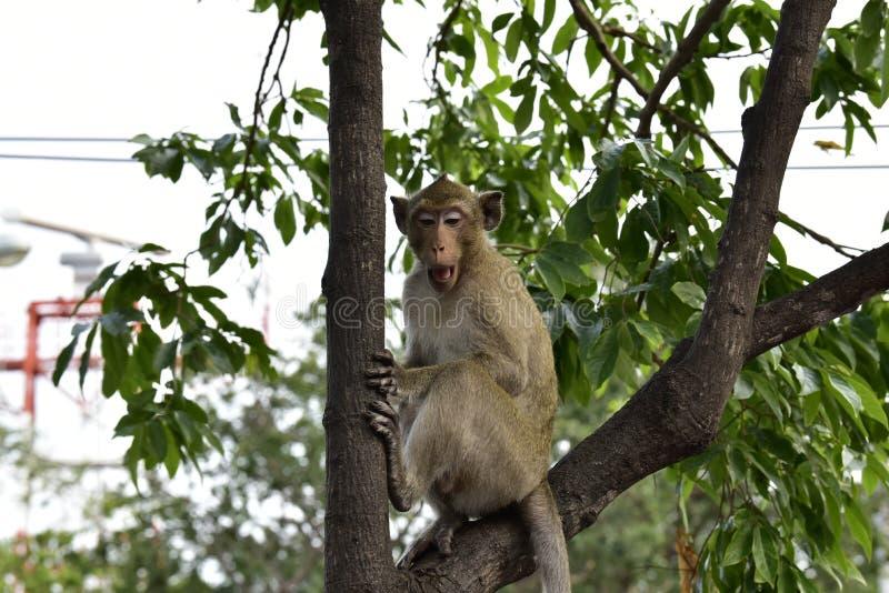 长尾的猴子,在大树的棕色头发在用各种各样的种类盖的自然小山的森林里树 库存照片