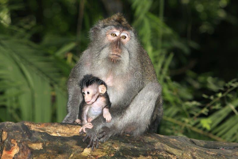 长尾的短尾猿和婴孩 免版税库存图片