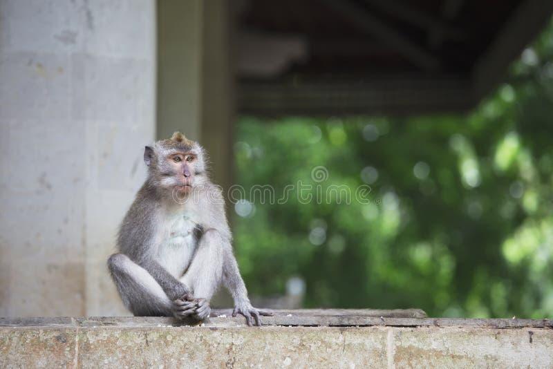 长尾的短尾猿在神圣的猴子森林里在Ubud,巴厘岛,印度尼西亚 免版税库存照片