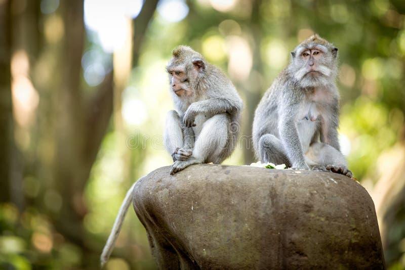 长尾的短尾猿在神圣的猴子森林里 图库摄影