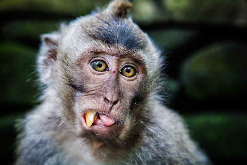 长尾的短尾猿在神圣的猴子森林, Ubud,印度尼西亚里 库存图片