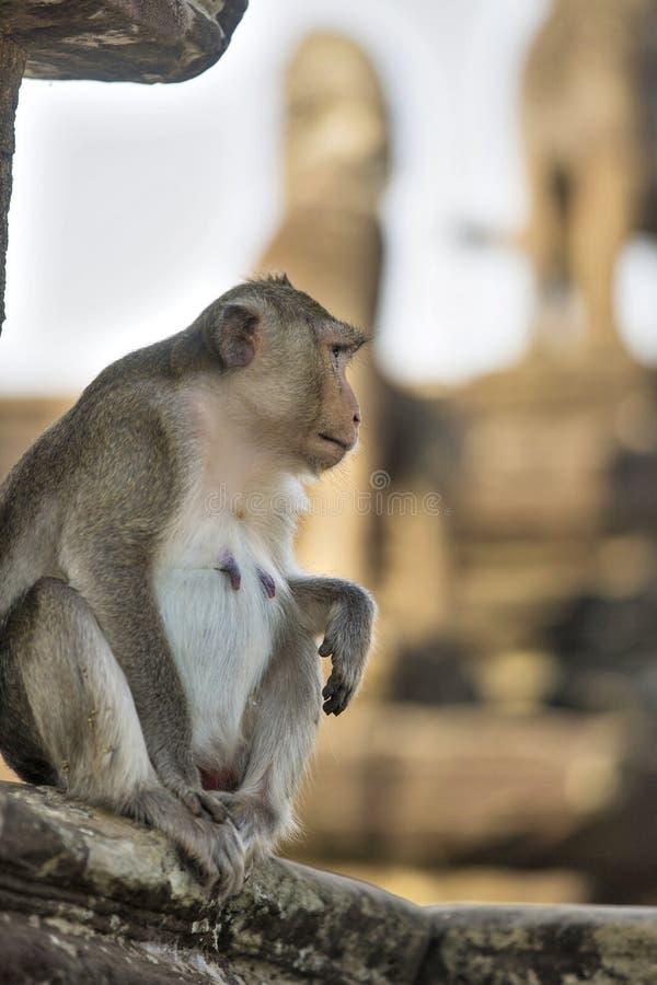 长尾的短尾猿母猴子坐古老废墟  免版税库存照片