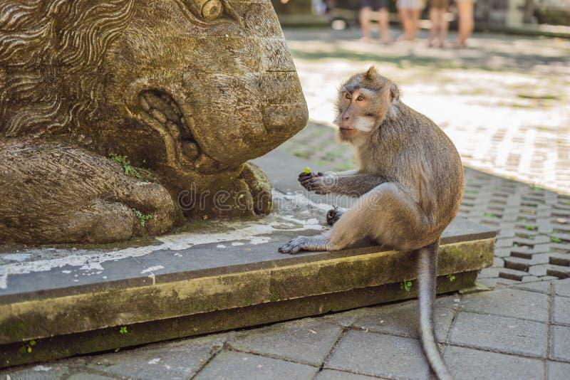 长尾的短尾猿猕猴属fascicularis在神圣的猴子森林里 免版税库存图片