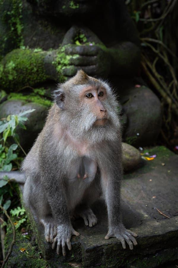 长尾的短尾猿猕猴属fascicularis画象在神圣的猴子森林,Ubud,印度尼西亚里 库存图片