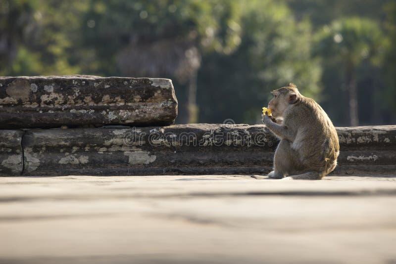长尾的短尾猿猴子坐吴哥窟古老废墟  免版税库存照片
