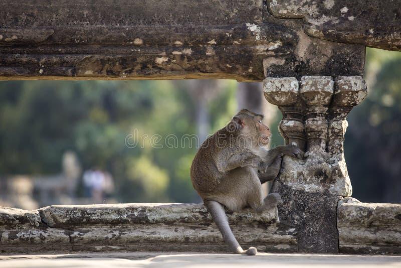 长尾的短尾猿猴子坐吴哥Wa古老废墟  图库摄影