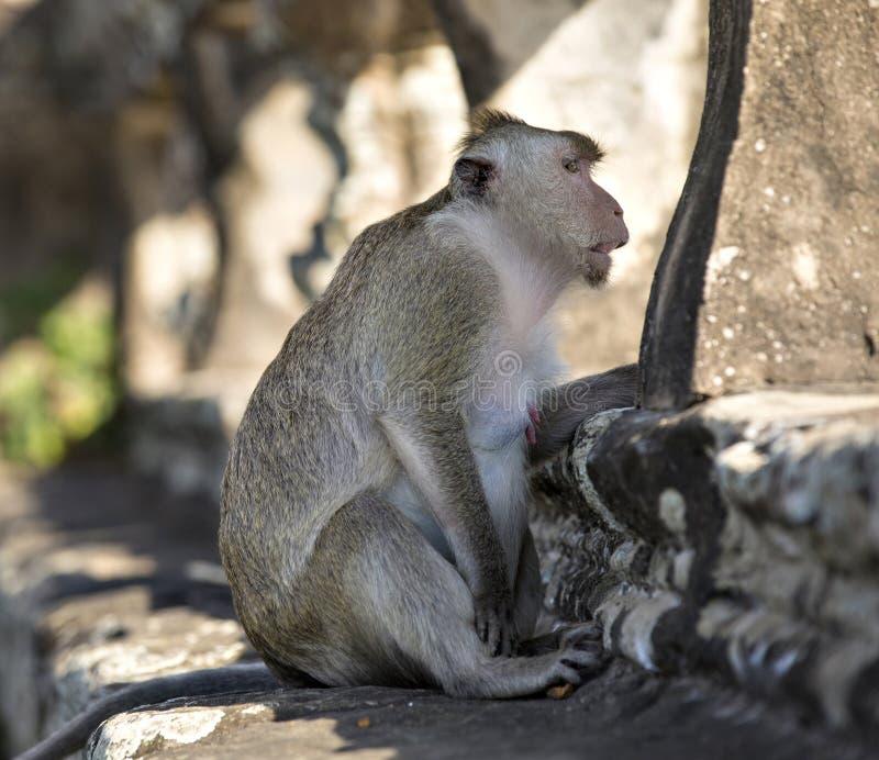 长尾的短尾猿猴子坐吴哥Wa古老废墟  库存照片