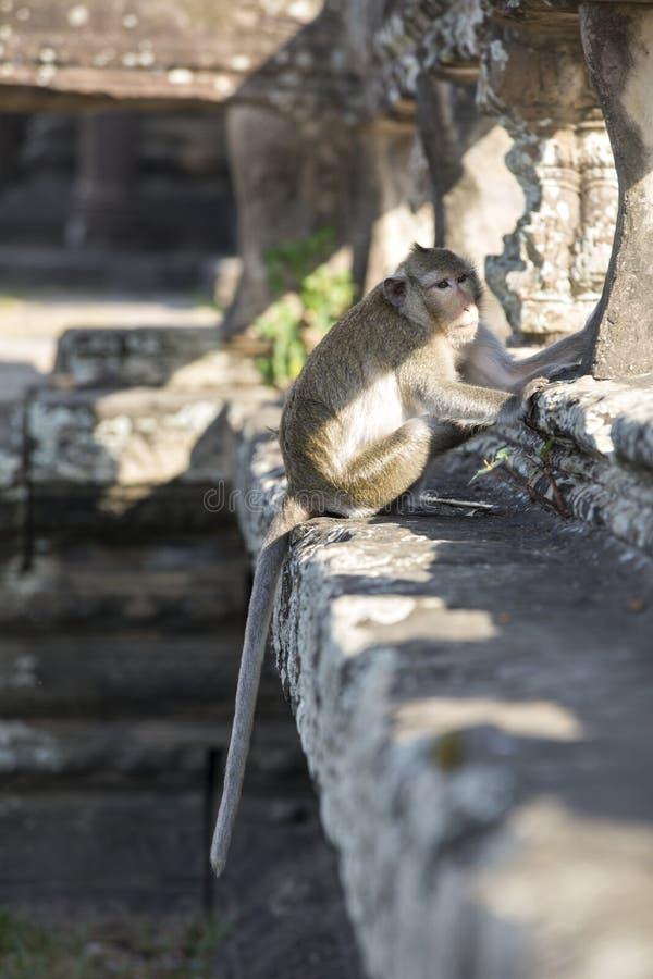 长尾的短尾猿猴子坐吴哥Wa古老废墟  库存图片