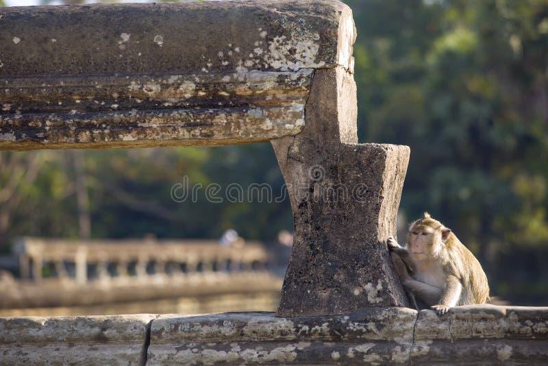 长尾的短尾猿猴子坐吴哥Wa古老废墟  免版税图库摄影