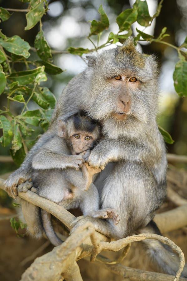 长尾的短尾猿-猕猴属fascicularis 库存照片