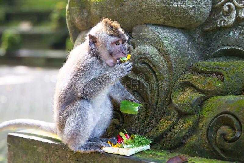 长尾的短尾猿(猕猴属fascicularis)在神圣的猴子前面 库存照片