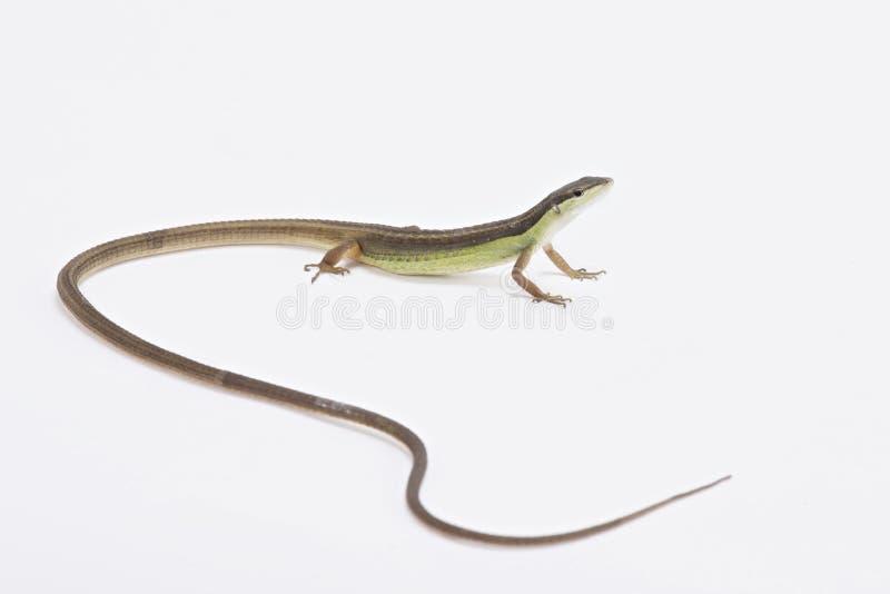 长尾的草蜥蜴(Takydromus sexlineatus) 免版税库存照片