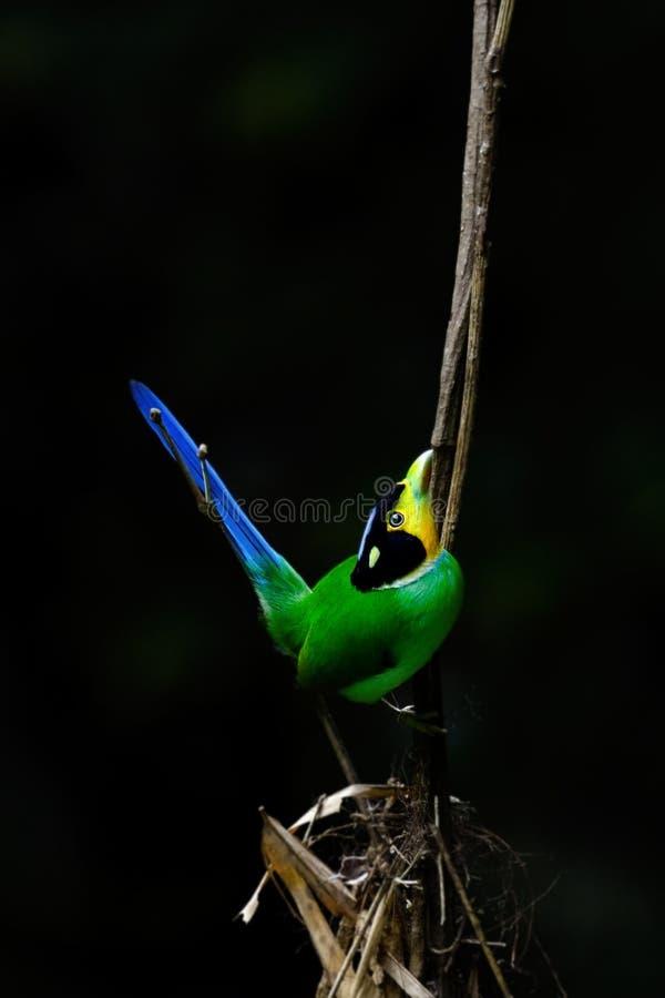 长尾的Broadbill鸟 库存图片