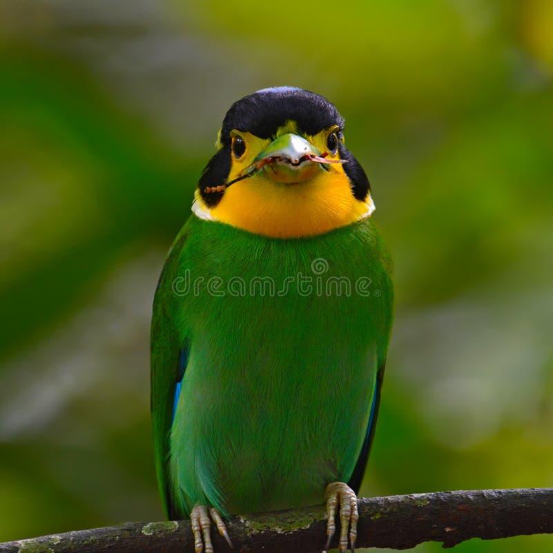 长尾的Broadbill鸟 免版税库存照片