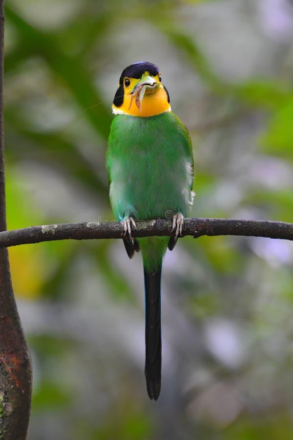 长尾的Broadbill鸟 免版税库存图片