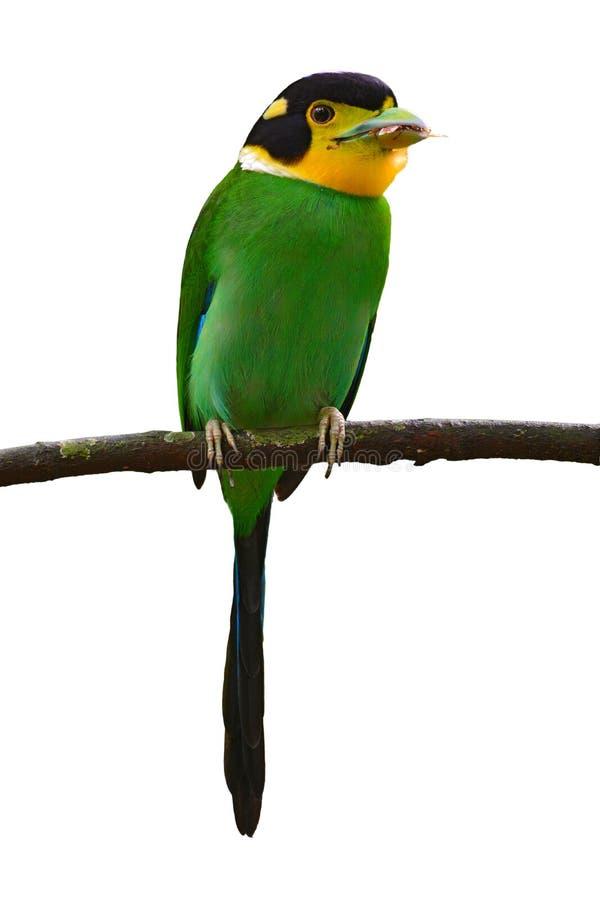 长尾的Broadbill鸟 库存照片