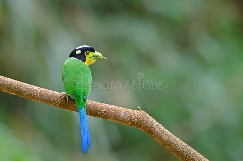 长尾的broadbill,栖息在分支的美丽的鸟作为  库存照片