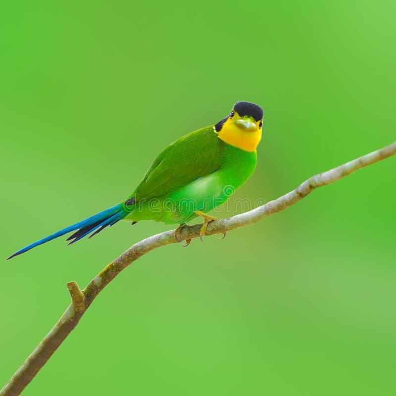 长尾的broadbilll鸟 库存照片