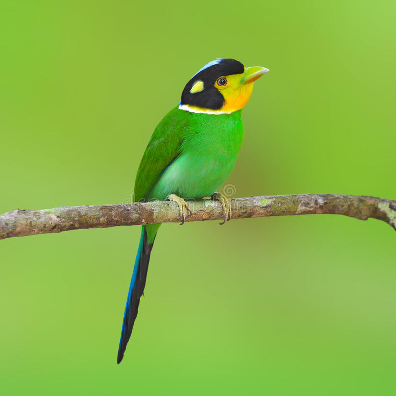 长尾的broadbilll鸟 免版税库存照片