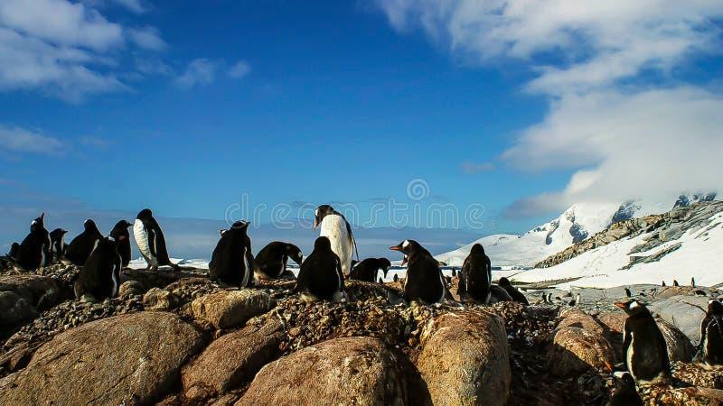 长尾的gentoo企鹅是在类Pygoscelis,南极半岛,南极洲的一个企鹅种类 库存照片