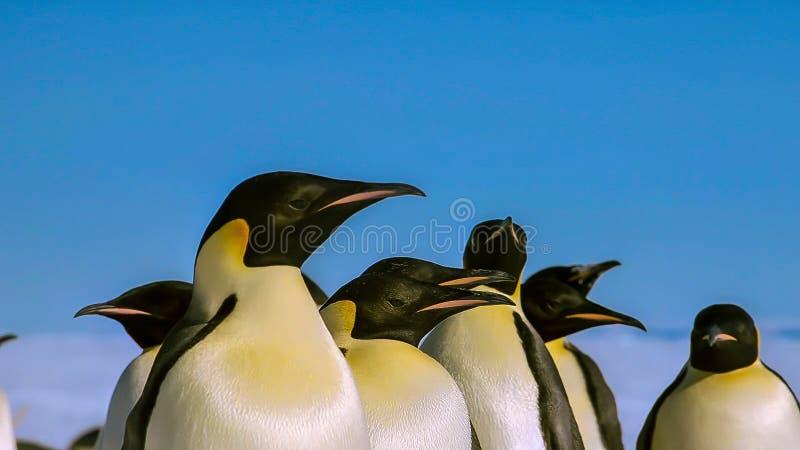 长尾的gentoo企鹅是在类Pygoscelis,南极半岛,南极洲的一个企鹅种类 图库摄影