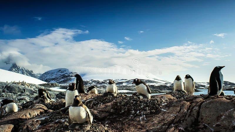 长尾的gentoo企鹅是在类Pygoscelis,南极半岛,南极洲的一个企鹅种类 免版税库存照片