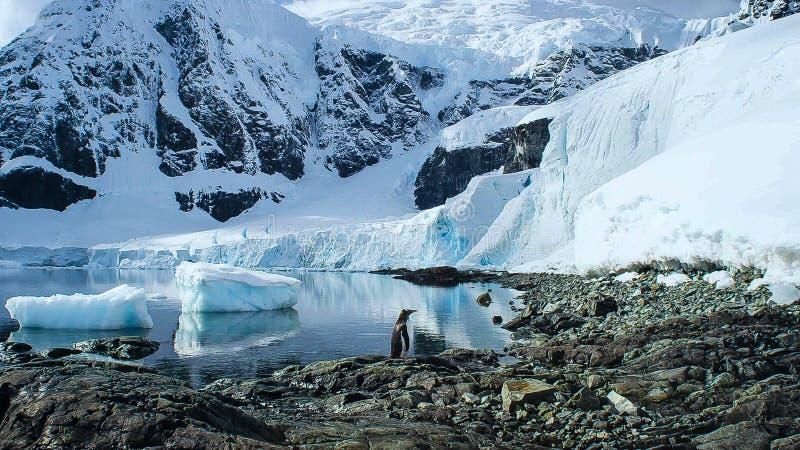 长尾的gentoo企鹅是在类Pygoscelis,南极半岛,南极洲的一个企鹅种类 库存图片