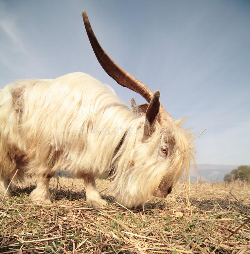 长山羊的头发 免版税库存图片