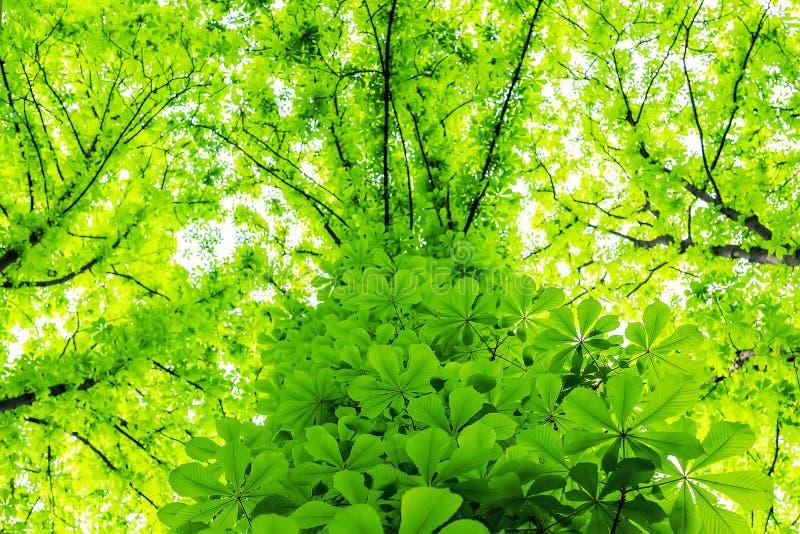 长得太大的栗树树干在城市公园或深绿色叶子自然背景中 自然避难所和屋顶 图库摄影