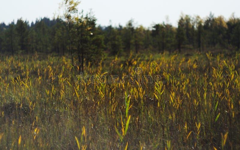 长得太大的沼泽的高芦苇、草和香蒲 免版税库存图片