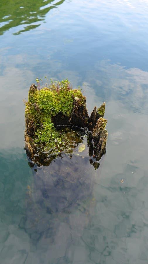 长得太大的老树桩在湖水中 库存照片