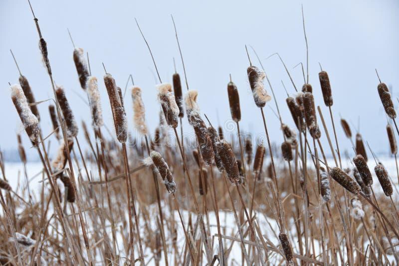 长得太大的芦苇在湖的冬天 库存照片