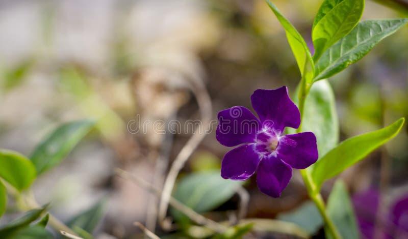 长春蔓rosea,在雨以后的紫罗兰色桃红色花,与湿绿色的叶子 图库摄影