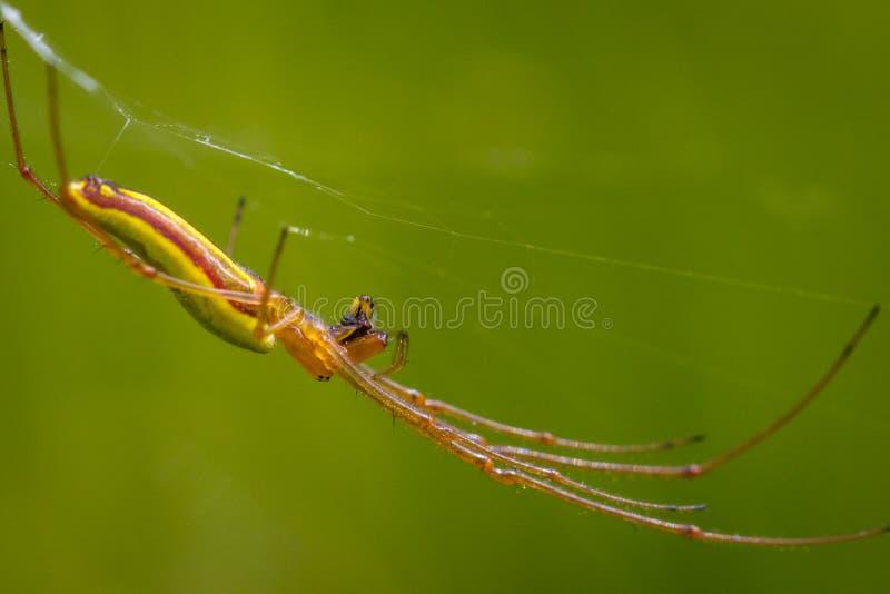 长有下巴的天体织布工蜘蛛Tetragnatha extensa 库存照片