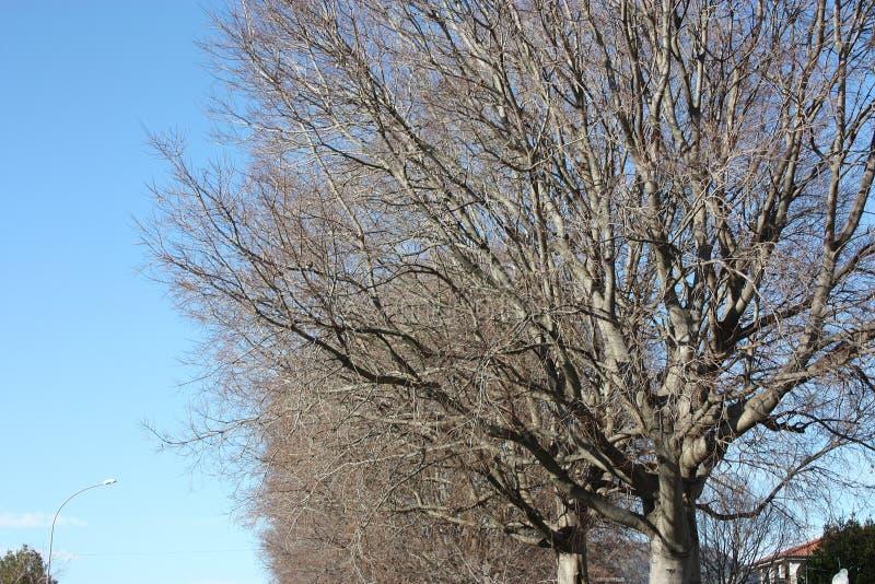 长期,一棵高光秃的树的干燥分支反对天空蔚蓝的 免版税库存照片