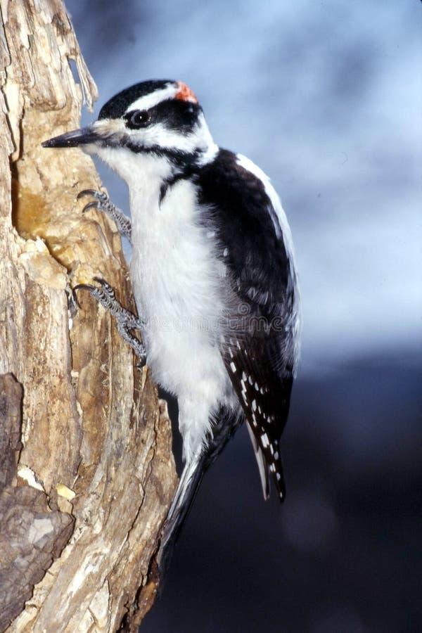 长毛的公picoides villosus啄木鸟 库存图片