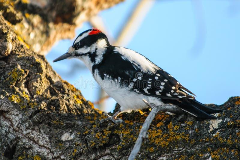 长毛的啄木鸟 免版税图库摄影