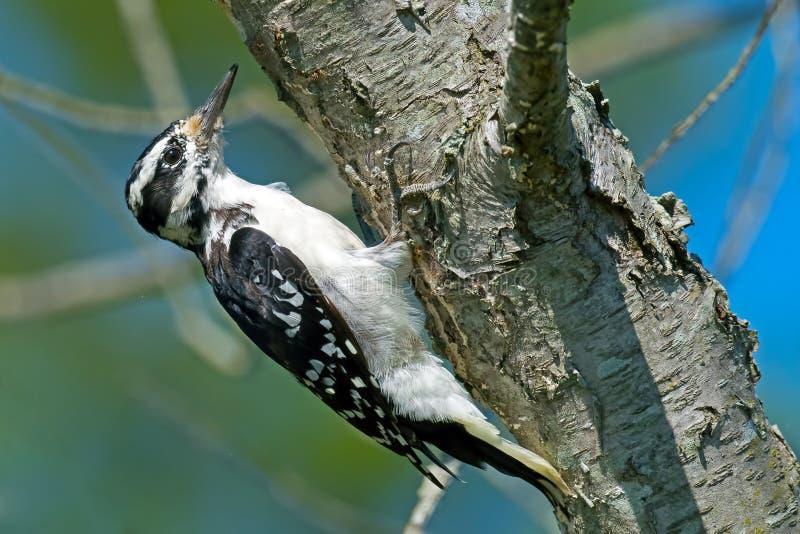 长毛的啄木鸟 免版税库存照片